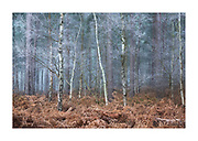Hoar frost on a winter's morning in mixed forest with bracken in Southern England