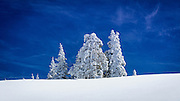 Rime ice on pines, Ansel Adams Wilderness, Sierra Nevada Mountains, California USA