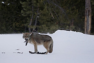 A coyote tears apart and devours a Canada goose wing it had stored beneath the snow.
