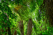 Oceania, New Zealand, Aotearoa, North Island, Tongariro National Park, fern tree in temperate rain forest