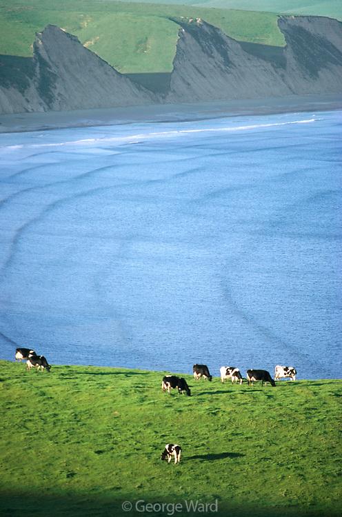 Dairy Cows Grazingabove Drakes Bay,Point Reyes National Seashore, California