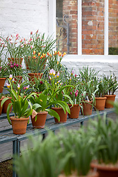 Display of species tulips in the glasshouse at West Dean