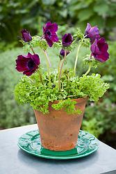 Anemone coronaria 'Cristina' in terracotta pot