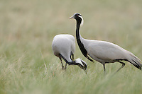Mission: Saiga.A demoiselle crane pair (Anthropoides virgo) during the mating period in the steppe of Cherniye Zemly (Black Earth) Nature Reserve, Kalmykia, Russia, April 2009  (Anthropoides virgo).