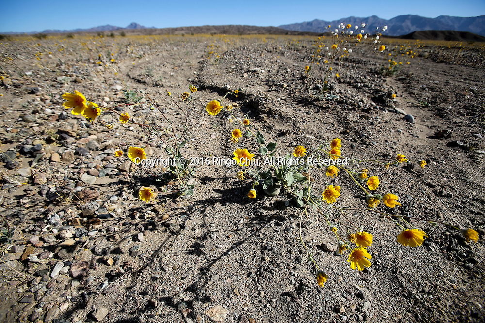 Wild flowers in Death Valley National Park, California, the United States on Saturday, March 26, 2016. Death Valley is a desert valley located in Eastern California. It is the lowest, driest, and hottest area in North America. Death Valley's Badwater Basin is the point of the lowest elevation in North America, at 282 feet below sea level. This point is 84.6 miles east-southeast of Mount Whitney, the highest point in the contiguous United States with an elevation of 14,505 feet. Death Valley's Furnace Creek holds the record for the highest reliably recorded air temperature in the world, 134°F. on July 10, 1913. This has been contested by other weather experts.(Photo by Ringo Chiu/PHOTOFORMULA.com)<br /> <br /> Usage Notes: This content is intended for editorial use only. For other uses, additional clearances may be required.