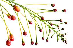 Pride of Barbados tree, caesalpinia pulcherrima #17