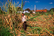 MEXICO, AGRICULTURE, NAYARIT Cutting sugar cane at Ahuacatlan east of Tepic