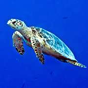 Hawksbill Sea Turtle are most commonly found on coral reefs where 70-95% of their food is sponges, although they also feed on crustations, algae and fish; they are circumtropical; picture takenLittle Cayman.