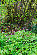 A Pacific Bleeding Heart (Dicentra formosa) blooms below a Vine Maple tree (Acer circinatum) in the forests of Campbell Valley Park in Langley, British Columbia, Canada