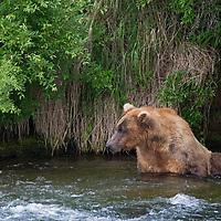 USA, Alaska, Katmai. Grizzly bear waiting in river.