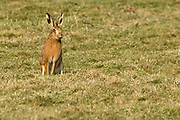 Brown hare. Poole Harbour, Dorset, UK.