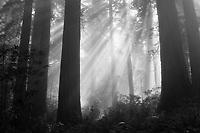 sunlight streams through a foggy forest scene in Redwoods National Park, California