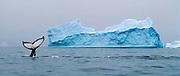 Humpback whale sounding near small iceberg, Antarctica