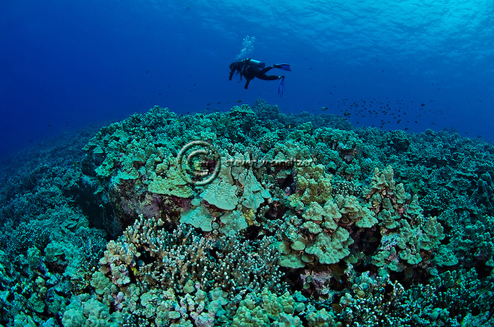 Hard Corals, Coral Reefs, Kona Hawaii