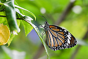 "Common Tiger (Danaus genutia) is one of the common butterflies of India. It belongs to the ""Crows and Tigers"", that is, the danainae group of the Brush-footed butterflies family. The butterfly is also called Striped Tiger in India  Photographed in Cambodia"