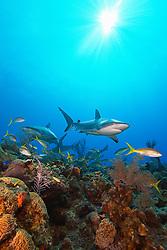 Caribbean reef sharks, Carcharhinus perezii, and yellowtail snappers, Ocyurus chrysurus, swimming over coral reef, Grand Bahamas, Bahamas, Caribbean Sea, Atlantic Ocean