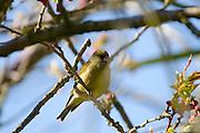Carduelis chloris - male Greenfinch