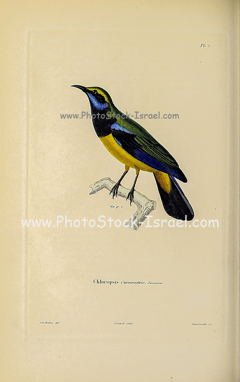 blue and yellow Leafbird (Chloropsis) from Souvenirs d'un voyage dans l'Inde exécuté de 1834 à 1839 (A voyage to India) by Delessert, Adolphe, published in Paris in 1843