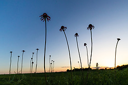 Sun setting on prairie behind Black Samson or narrow-leaf coneflowers (Echinacea angustifolia DC.) in Blackland Prairie at Clymer Meadow Preserve, Texas Nature Conservancy, Greenville, Texas, USA.