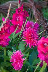 Dahlia 'Hillcrest Royal' with Gladiolus 'Plum Tart'