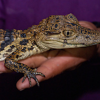 A Yanayacu Indian holds a baby caiman he caught in a river in Peru's Amazon Jungle.