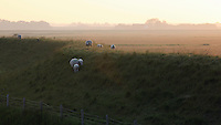 Sheep (Ovis aries), Texel, the Netherlands