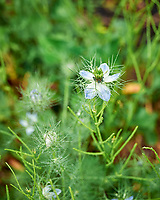 Love in a Mist flower. Image taken with a Leica SL2 camera and 24-90 mm lens.
