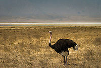 A Male Ostrich in Heat in the Ngorongoro Crater, Tanzania