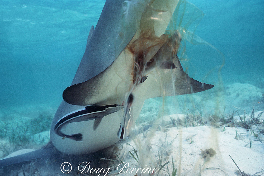 birth of a lemon shark, Negaprion brevirostris: pup's tail emerges from mother's cloaca wrapped in birth sac; remoras, Echeneis naucrates, break and eat umbilical cord, Bahamas ( Western Atlantic Ocean )
