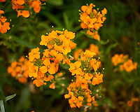 Siberian Wallflower. Image taken with a Leica TL-2 camera and 55-135 mm lens.