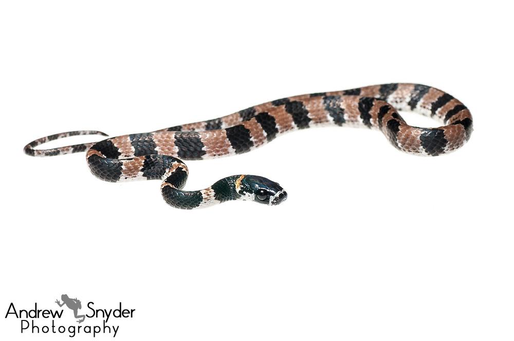 Snail-eating snake, Dipsas catesbyi, Iwokrama, Guyana, July 2013