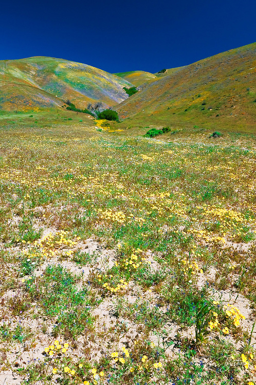 Wildflowers in the Tehachapi Mountains, Angeles National Forest, California