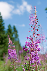 View of fireweed at Bavarian Forest