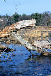Hop Brook With Felled Tree
