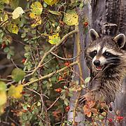 Raccoon, (Procyon lotor) In hollow tree feeding on rosehips. Fall.  Captive Animal.