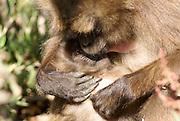 Africa, Ethiopia, Simien mountains, baby Gelada monkey Theropithecus gelada breast feeding