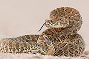 Prairie rattlesnake in Wind Cave National Park