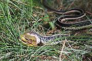 A gartersnake eats an Amrican bullfrog in habitat