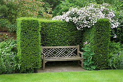 Rosa 'Paul's Himalayan Musk' growing over hedge with wooden bench seat in yew alcove. Design: Rani Lall