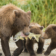 Alaska brown bear (Ursus middendorffi) mother catches a salmon to feed her and her cubs. Katmai National Park, Alaska