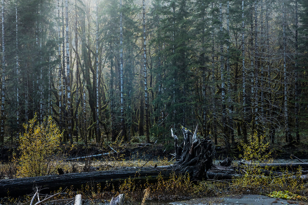Forest along the Skokomish river, Staircase Rapids area of Olympic National Park, Washington, USA.