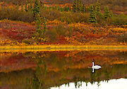 Alaska. Trumpeter Swan (Cygnus buccinator) reflection in autumn tundra color, Denali National Park.