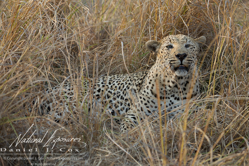 Leopard, large male, Timbavati Game Reserve, South Africa.
