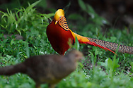 Golden pheasant, Chrysolophus pictus, Yangxian nature reserve, Shaanxi, China