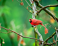 Northern Cardinal.  Image taken with a Fuji X-T3 camera and 200 mm f/2 telephoto lens + 1.4x Teleconverter
