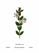 Periwinkle (Vinca media) From the book Wild flowers of the Holy Land: Fifty-Four Plates Printed In Colours, Drawn And Painted After Nature. by Mrs. Hannah Zeller, (Gobat); Tristram, H. B. (Henry Baker), and Edward Atkinson, Published in London by James Nisbet & Co 1876 on white background