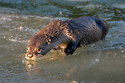 Alaska. Northern River Otter (Lontra canadensis) snacking on a starry flounder, Seward.