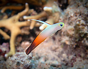 Fire Dartfish at Barney's Reef in Papua New Guinea