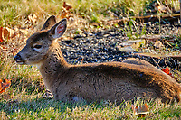Cold young doe resting in the afternoon sun. Image taken with a Fuji X-T2 camera and 100-400 mm OIS lens (ISO 200, 400 mm, f/5.6, 1/150 sec).