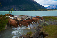Horses crossing a stream at Estancia Helsingfors in Patagonia. Image taken with a Nikon D3s camera and 24-120 mm f/4  lens (ISO 200, 40 mm, f/4, 1/1250 sec)